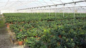 sicily plants